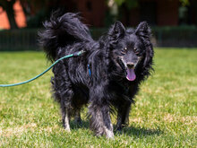 ZIP, Hund, Spitz-Collie-Mix in Kroatien - Bild 6