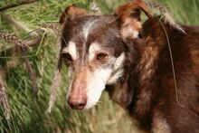 ANDY, Hund, Podenco-Mix in Spanien - Bild 2