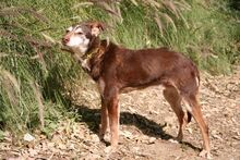 ANDY, Hund, Podenco-Mix in Spanien - Bild 3