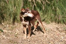 ANDY, Hund, Podenco-Mix in Spanien - Bild 4