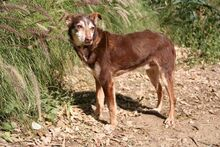 ANDY, Hund, Podenco-Mix in Spanien - Bild 7