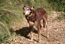 ANDY, Hund, Podenco-Mix in Spanien - Bild 8