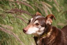 ANDY, Hund, Podenco-Mix in Spanien - Bild 9