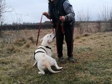 ALEX, Hund, Labrador-Mix in Ungarn - Bild 10