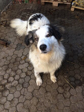 HERO, Hund, Tornjak-Mix in Kroatien - Bild 2