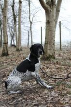 PHAEDRA, Hund, Pointer-Mix in Bad Staffelstein - Bild 2