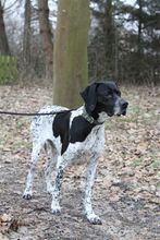 PHAEDRA, Hund, Pointer-Mix in Bad Staffelstein - Bild 3