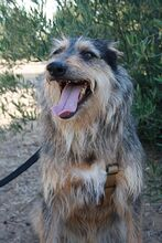 GUILLE, Hund, Gos d' Atura Catalan-Mix in Spanien - Bild 12