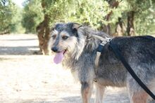 GUILLE, Hund, Gos d' Atura Catalan-Mix in Spanien - Bild 16
