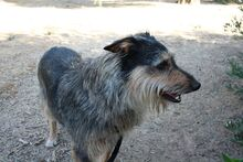 GUILLE, Hund, Gos d' Atura Catalan-Mix in Spanien - Bild 19