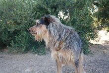 GUILLE, Hund, Gos d' Atura Catalan-Mix in Spanien - Bild 2