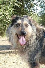 GUILLE, Hund, Gos d' Atura Catalan-Mix in Spanien - Bild 23