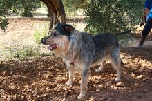 GUILLE, Hund, Gos d' Atura Catalan-Mix in Spanien - Bild 3