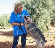 GUILLE, Hund, Gos d' Atura Catalan-Mix in Spanien - Bild 7