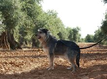 GUILLE, Hund, Gos d' Atura Catalan-Mix in Spanien - Bild 9