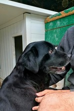 HYDE, Hund, Labrador-Mix in Kroatien - Bild 3