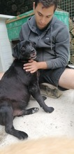 HYDE, Hund, Labrador-Mix in Kroatien - Bild 6