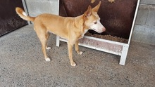CHUMI, Hund, Podenco-Mix in Spanien - Bild 2