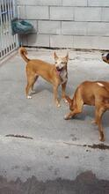 CHUMI, Hund, Podenco-Mix in Spanien - Bild 3