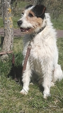 SWIFT, Hund, Terrier in Spanien - Bild 1