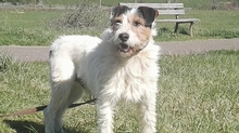 SWIFT, Hund, Terrier in Spanien - Bild 2