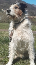 SWIFT, Hund, Terrier in Spanien - Bild 7