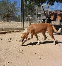 COLOMA, Hund, Podenco-Mix in Spanien - Bild 1