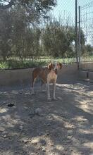 COLOMA, Hund, Podenco-Mix in Spanien - Bild 10