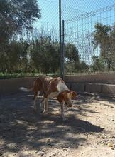 COLOMA, Hund, Podenco-Mix in Spanien - Bild 11