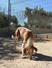 COLOMA, Hund, Podenco-Mix in Spanien - Bild 12