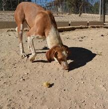 COLOMA, Hund, Podenco-Mix in Spanien - Bild 2