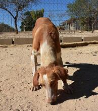 COLOMA, Hund, Podenco-Mix in Spanien - Bild 3