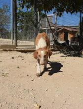 COLOMA, Hund, Podenco-Mix in Spanien - Bild 4