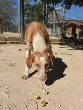 COLOMA, Hund, Podenco-Mix in Spanien - Bild 5