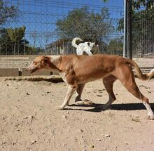COLOMA, Hund, Podenco-Mix in Spanien - Bild 6
