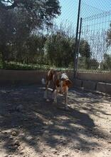 COLOMA, Hund, Podenco-Mix in Spanien - Bild 7