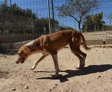 COLOMA, Hund, Podenco-Mix in Spanien - Bild 8