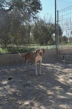 COLOMA, Hund, Podenco-Mix in Spanien - Bild 9