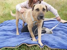 BRUNO, Hund, Kangal-Mix in Ungarn - Bild 10