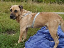 BRUNO, Hund, Kangal-Mix in Ungarn - Bild 11