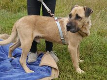BRUNO, Hund, Kangal-Mix in Ungarn - Bild 16