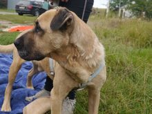 BRUNO, Hund, Kangal-Mix in Ungarn - Bild 17