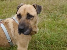 BRUNO, Hund, Kangal-Mix in Ungarn - Bild 18