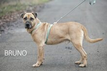 BRUNO, Hund, Kangal-Mix in Ungarn - Bild 21