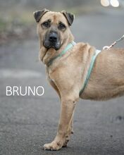 BRUNO, Hund, Kangal-Mix in Ungarn - Bild 23