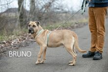BRUNO, Hund, Kangal-Mix in Ungarn - Bild 25