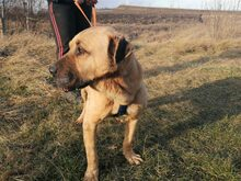BRUNO, Hund, Kangal-Mix in Ungarn - Bild 27