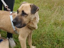 BRUNO, Hund, Kangal-Mix in Ungarn - Bild 9