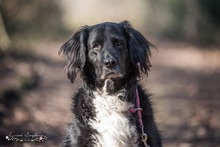 KORI, Hund, Golden Retriever-Border Collie-Mix in Burgdorf - Bild 1