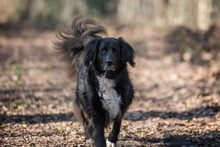 KORI, Hund, Golden Retriever-Border Collie-Mix in Burgdorf - Bild 2